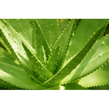 Extracto 100% natural de aloe vera